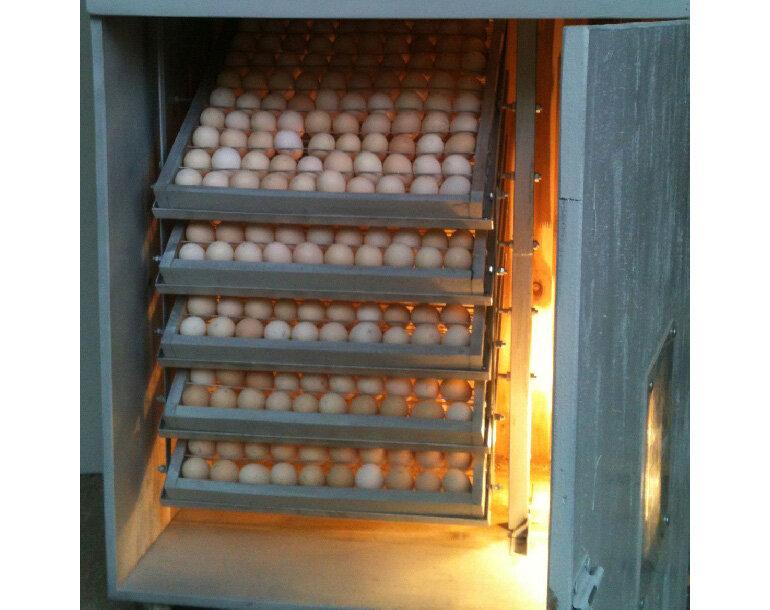 Kiểm soát nhiệt độ lò ấp trứng